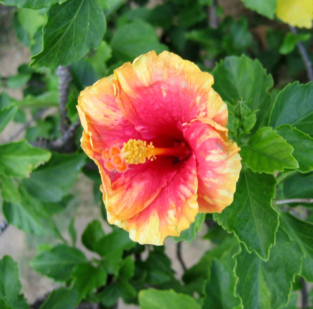 Hibiscus - a thousand variants of this popular and prolific flowering plant in the Philippines
