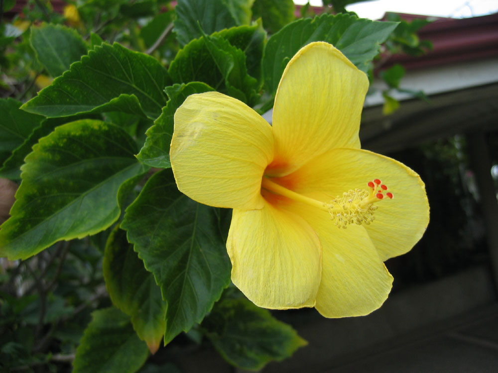 Hibiscus - called Gumamela in the Philippines.
