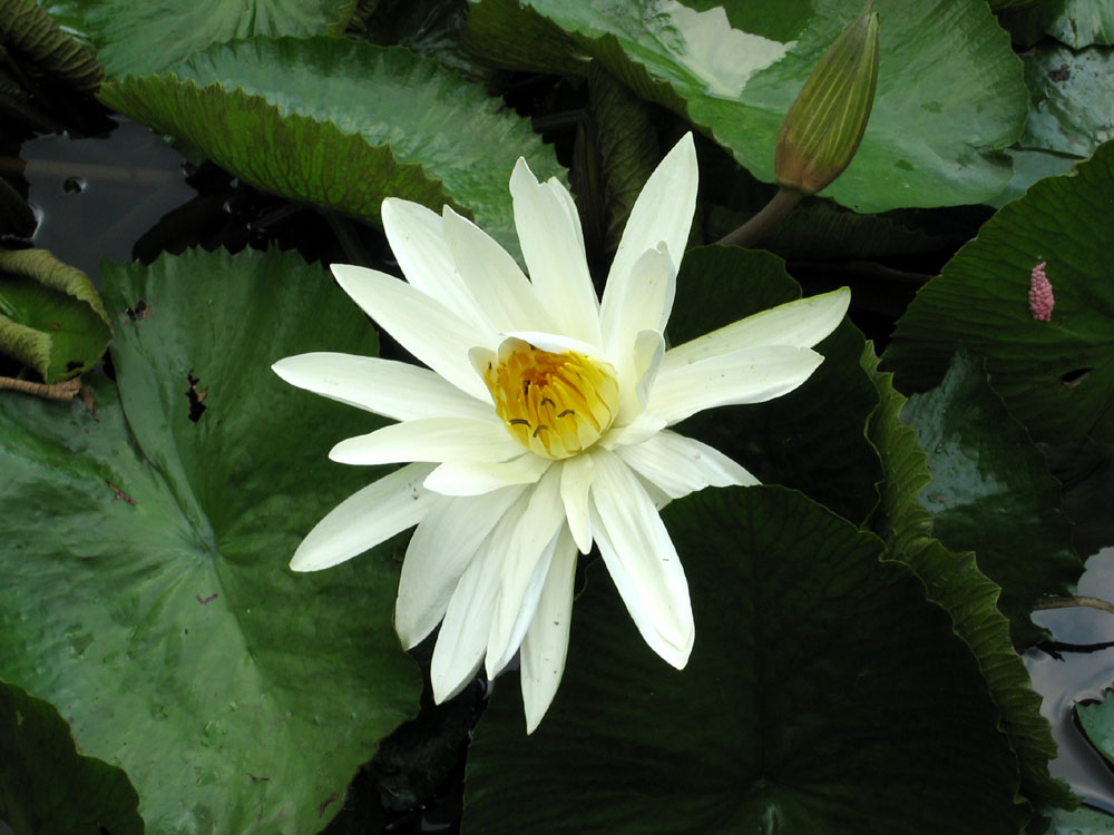 Water Lily (Nymphaea capensis), Montebello Villa Hotel, Cebu City, Philippines