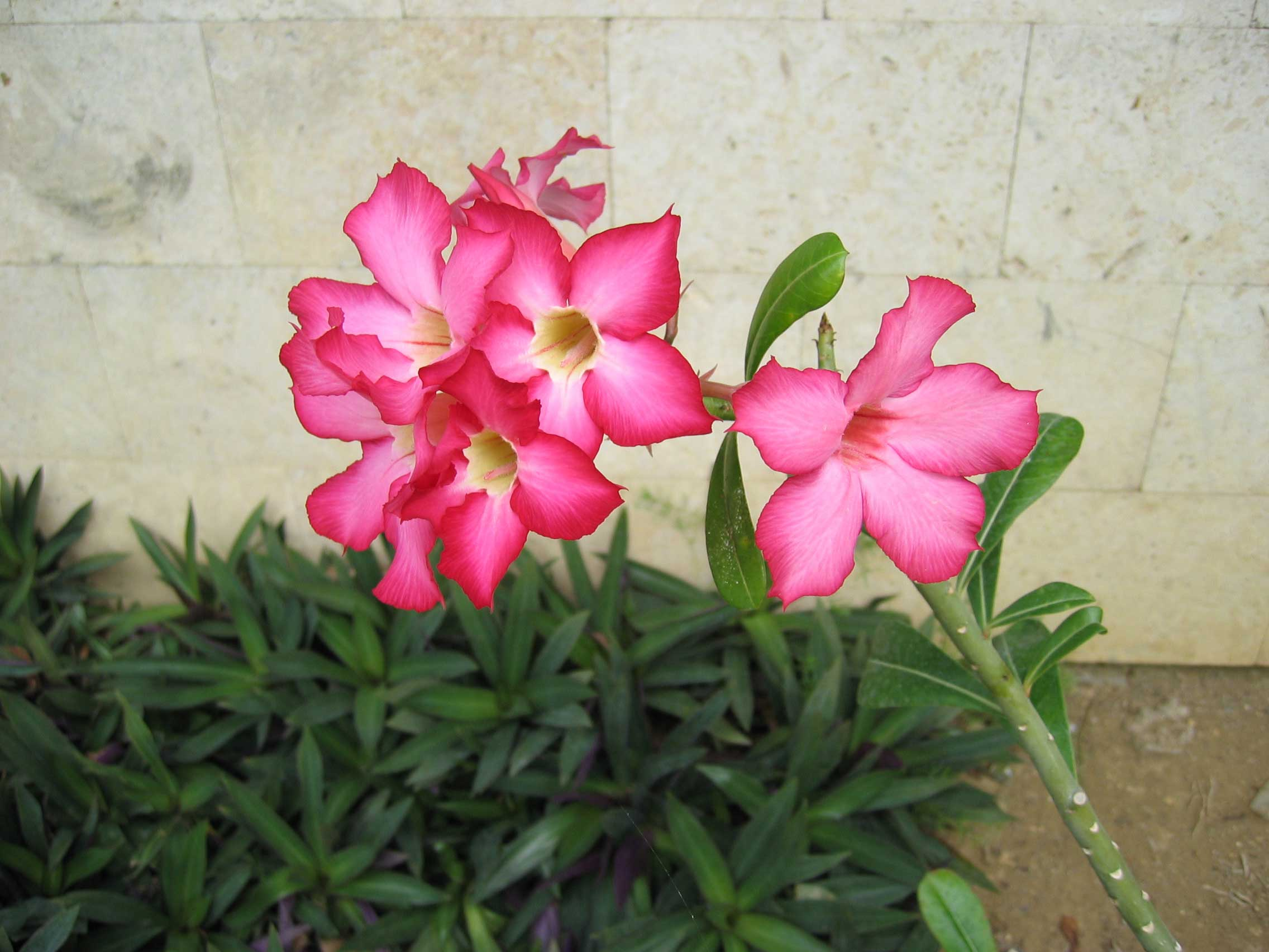 Desert Rose (Adenium obesum).  Native to Arabia.  Highly toxic sap.
