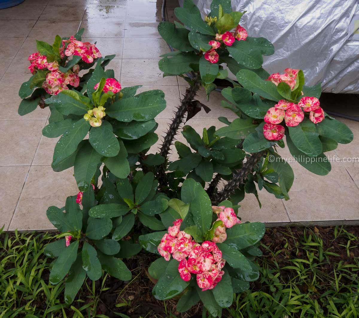 Crown of Thorns (Euuphorbia milli), native of Madagascar