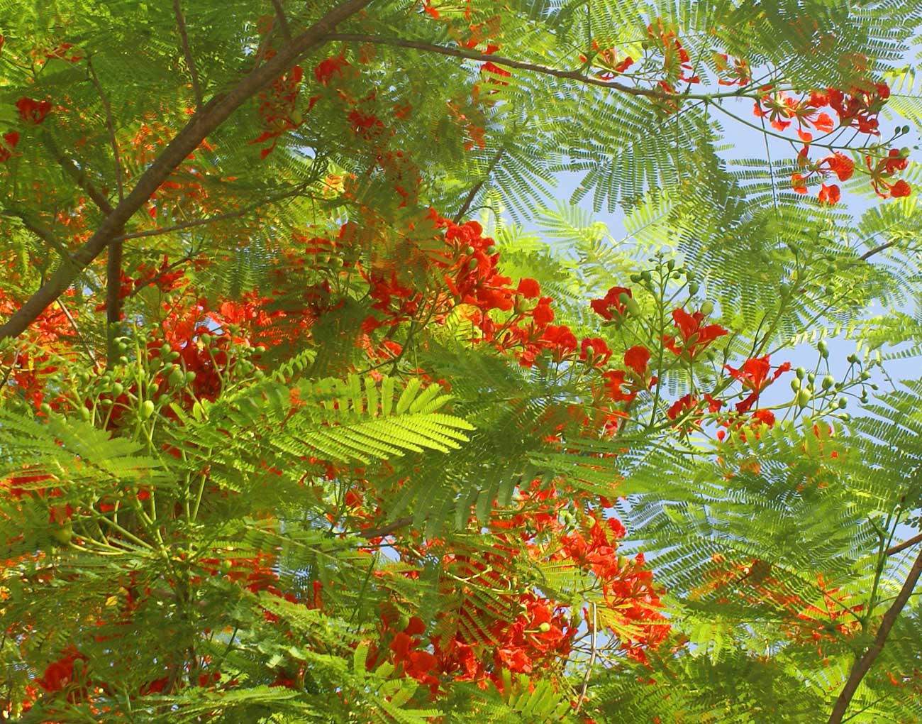 Flame Tree (Delobix regia) San Juan Street, Iloilo City Philippines