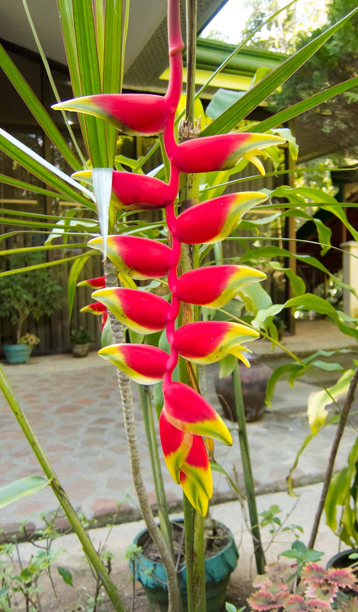 Heliconia firebird my philippine life for Landscaping plants in the philippines
