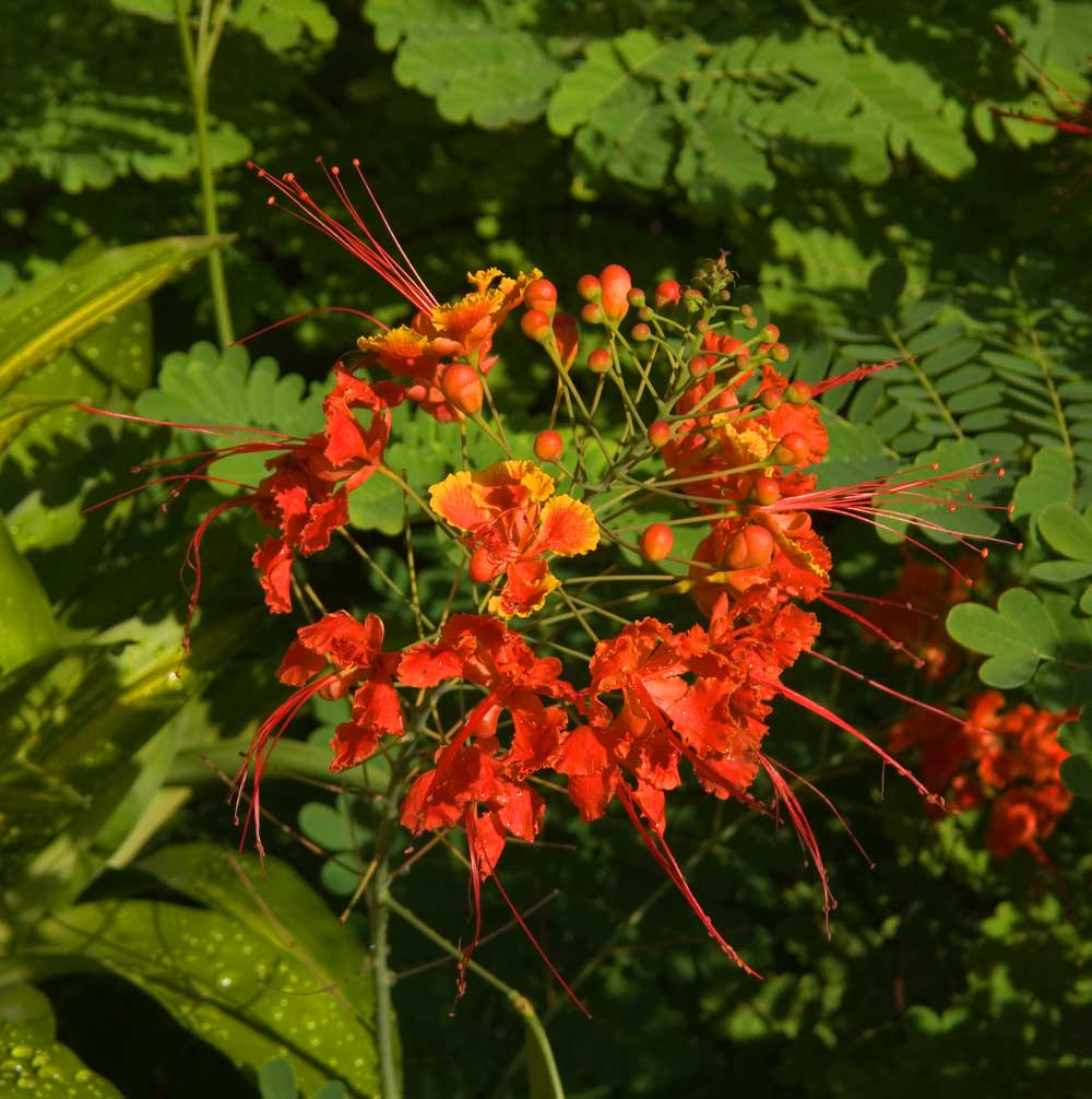 Detail: Is this Peacock Flower (Caesalpinia pulcherrima)?, San Juan Street, Molo, Iloilo City, Philippines