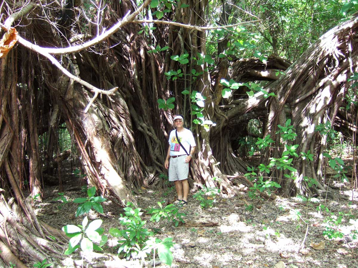 "Banyan Tree (Ficus benghalenis), known locally as ""Balete"", Nogas Island, Antique Province, Philippines"