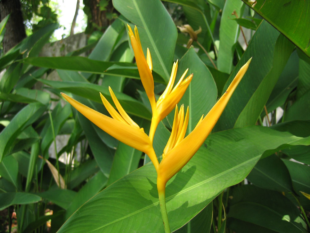 "Heliconia ""Golden Torch"" - sometimes called ""Bird of Paradise"" . Montebello Villa Hotel, Cebu City, Philippines"