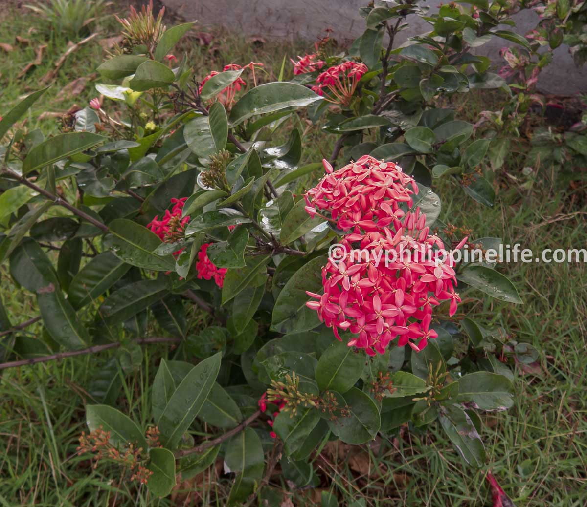 This looks like an Ixora but it's too big.  Anyone know what it is?